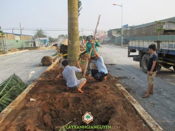 cây xanh gia nguyễn, cây công trình, cây giống lâm nghiệp, kỹ thuật trồng cây, bứng cây