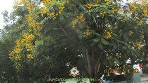 cây điệp vàng, hoa điệp vàng, công ty cây xanh Gia Nguyễn, phượng vĩ, bằng lăng tím, khu dân cư Bình Lợi