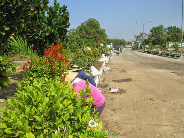 cây xanh gia nguyễn, cây hồng lộc, cau trắng, cỏ nhung nhật, cây công trình