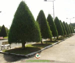 cây xanh gia nguyễn, cây công trình, cây phi lao, phi lao, chắn cát, cây xanh đô thị