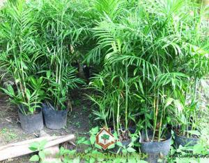 Cau Hawai, cây xanh Gia Nguyễn, cây cảnh nội thất, trồng cau Hawai, tạo cảnh quan, trang trí cho ngôi nhà