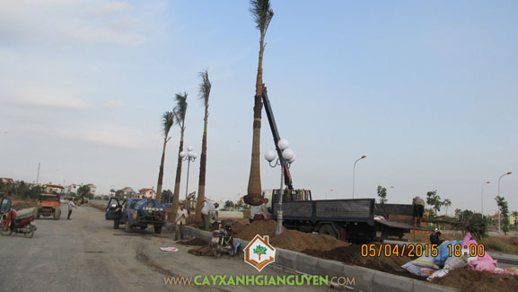 Cây công trình, Trồng cây công trình, cây xanh Gia Nguyễn, trồng cây, tưới cây, khu dân cư Dương Hồng