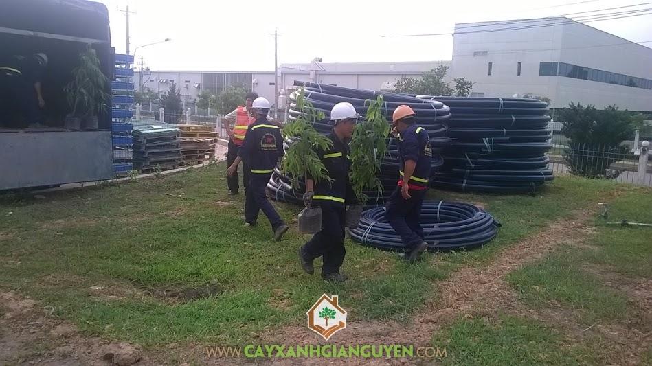 Công ty cây xanh Gia Nguyễn, cây hoàng nam, cây bàng đài loan, cây hồng lộc, cây giống