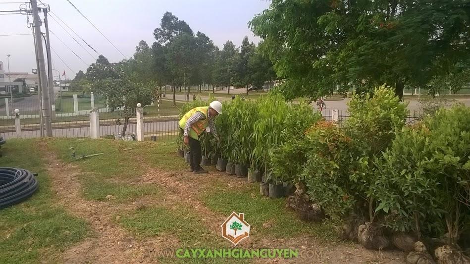 Công ty cây xanh Gia Nguyễn, cây hoàng nam, cây bàng đài loan, cây hồng lộc, cung cấp cây giống