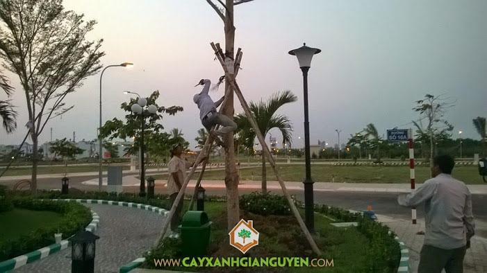 Bàng đài loan, cây xanh Gia Nguyễn, công ty cây xanh Gia Nguyễn, cây công trình, bứng cây