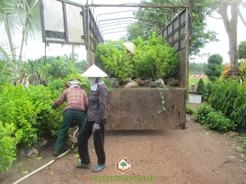 Cây xanh Gia Nguyễn, cây nguyệt quế, cây bông giấy, khu công nghiệp Bắc Đồng Phú, cây giống