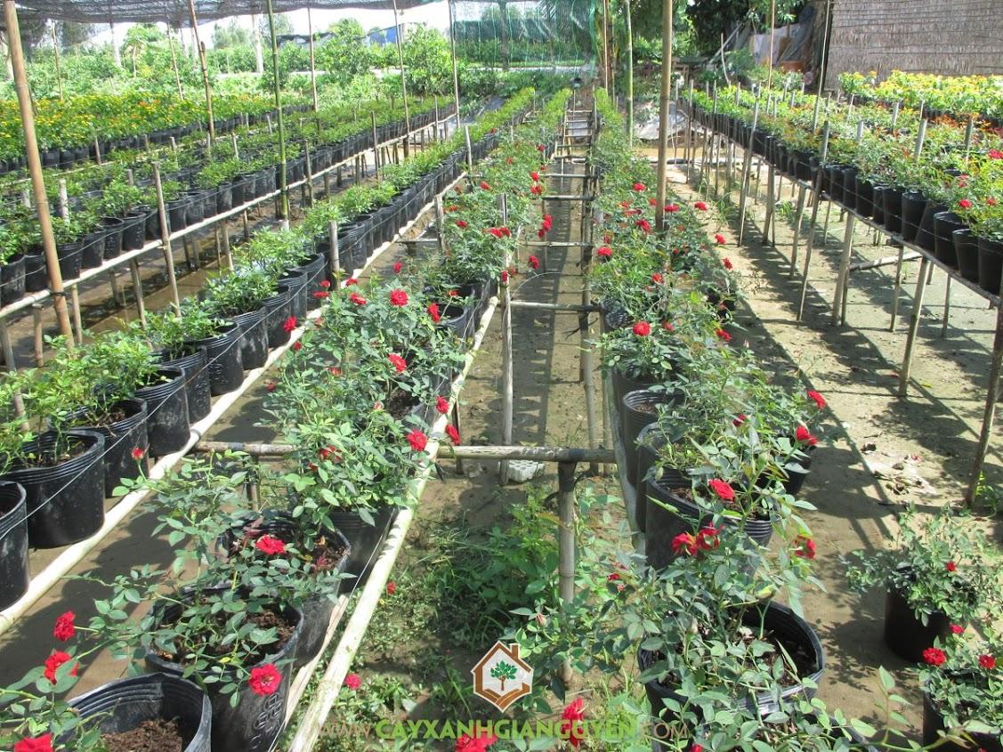 Hoa hồng, Rosa Sp, Cây Công Trình, Cây Hoa Trồng Bụi, Cây Xanh Gia Nguyễn