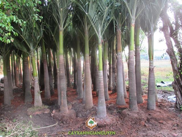 cau trắng, Veitchia merrillii, Cây công trình, Cau Bẹ Trắng, Cây Xanh Gia Nguyễn