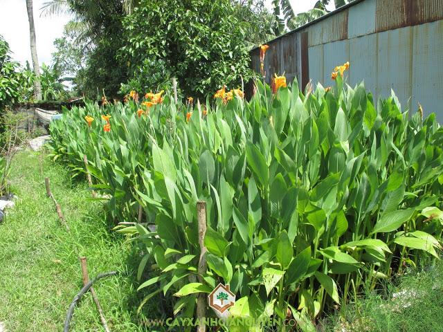 Chuối hoa, Canna hybrids, Cây Công Trình, Cây Xanh Gia Nguyễn, Cây Hoa Trồng Bụi