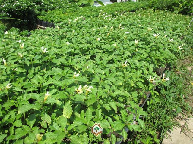 Đông Hầu, Dừa Thái Vàng, Dừa Vàng, Turnera Ulmifolia, Cây Công Trình