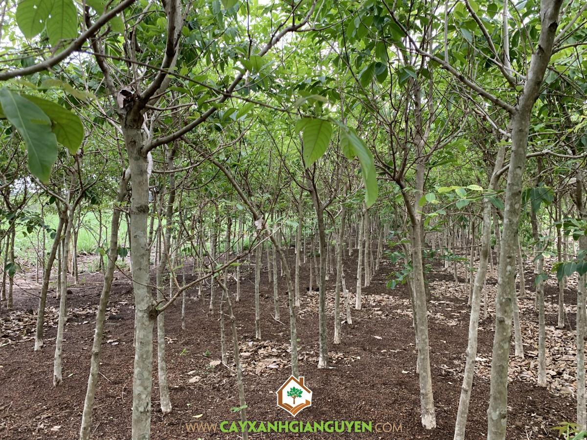 Cây bằng lăng, Bằng lăng, Đặc điểm của cây bằng lăng, Cây cảnh, Cây xanh Gia Nguyễn