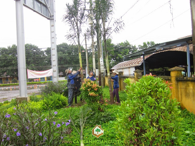 Cau đuôi chồn, Cây cau đuôi chồn, Công ty cây xanh Gia Nguyễn, Hoa cây cau đuôi chồn, Cách chăm sóc cây cau đuôi chồn
