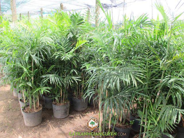 Cây cau hawai, Trồng cau hawai, Cau hawai, Cây công trình, Công ty cây xanh Gia Nguyễn