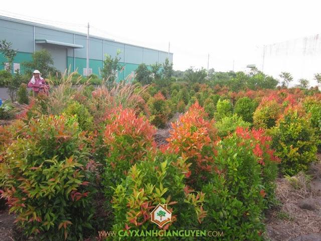 Hồng lộc, Cây hồng lộc, Cây hồng lộc giống, Cách trồng cây hồng lộc, Cảnh quan xanh