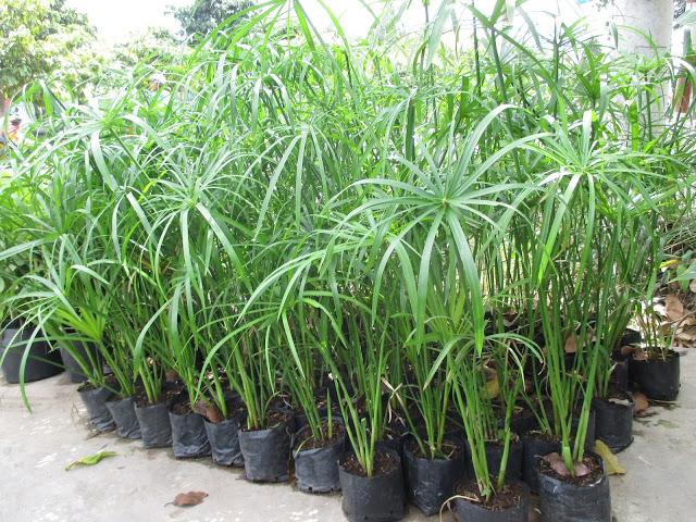 Cây si, Cây dừa, Cây dương xỉ, Cây trồng viền, Cây thủy trúc