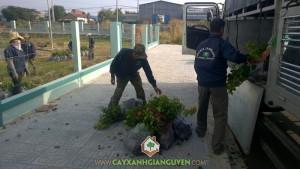 Cây xanh Gia Nguyễn, Cây bông giấy, Cây hoa giấy, Cây giống, Chăm sóc bông giấy