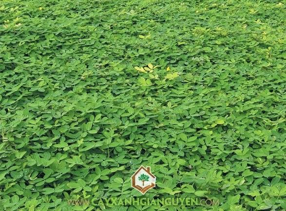 Cỏ lạc, Cây cỏ lá lạc, Cây trồng thảm, Rễ cây cỏ lạc, Thảm cỏ lạc