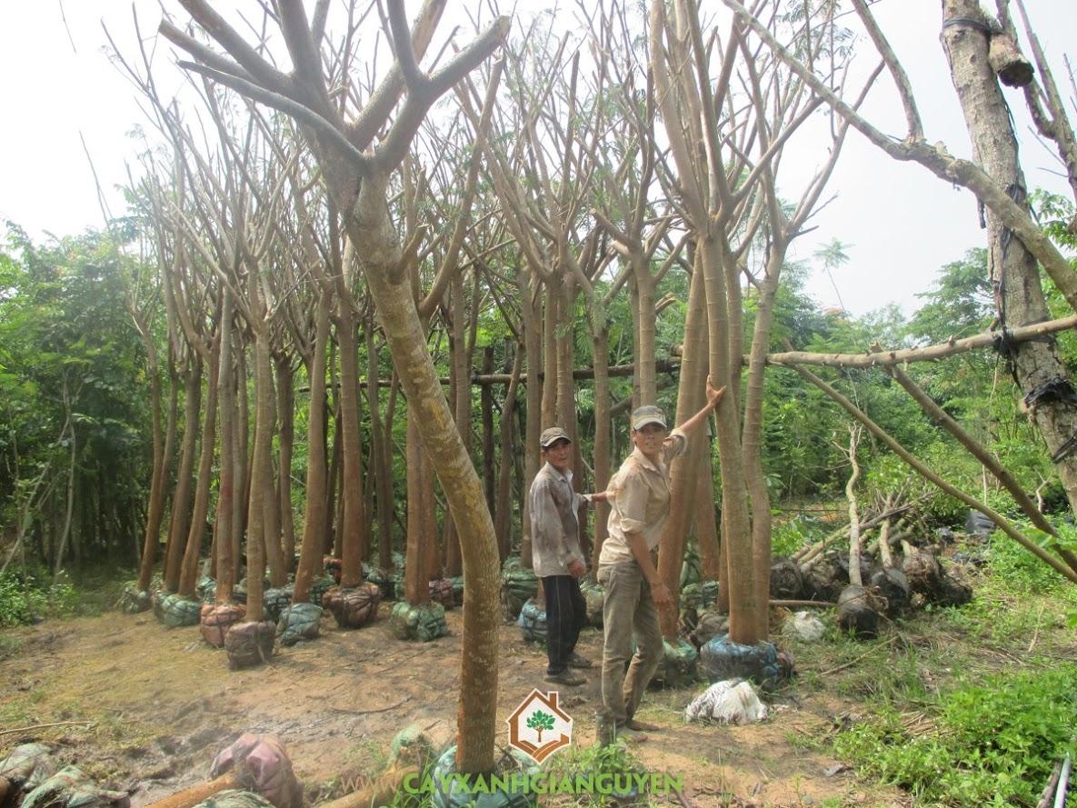 Cây Phượng Vĩ, Cây Phượng Vỹ, Cây Công Trình, Cây trồng Khu Dân Cư