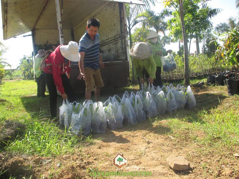 Công ty cây xanh Gia Nguyễn, Cây giống, Cây chuông vàng, Cung cấp cây xanh, Công ty Du Lịch Sinh Thái Sơn Tiên