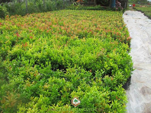 Hồng lộc, Công ty cây xanh Gia Nguyễn, Cây hồng lộc, Giá trị của cây hồng lộc, Cung cấp giống cây hồng lộc