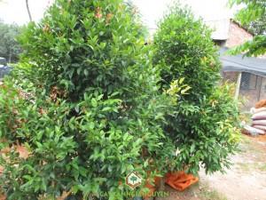 Cây hồng lộc, Công ty Gia Nguyễn, Vườn ươm cây xanh, Cây giống, Cây kiểng