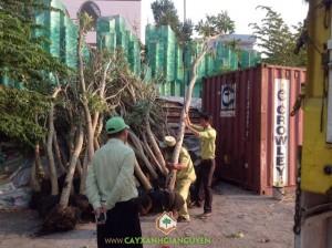 Cây Xanh Gia Nguyễn, Cây Chuông Vàng, Cây giống, Công ty Cây Xanh Gia Nguyễn, KDL Văn Hóa Suối Tiên