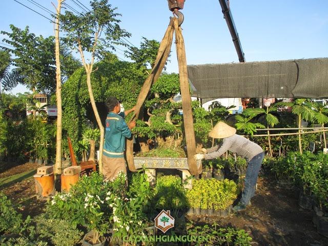 Cây xanh Gia Nguyễn, Cây sanh thế, Cây cau lùn, Cây sò đo cam, Cây sung