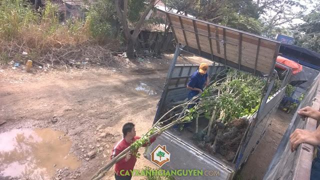 Cây sanh, Cây xanh Gia Nguyễn, Giống cây trồng, Cây cảnh, Cây bóng mát