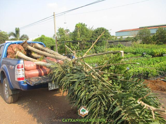 Cây Xanh Gia Nguyễn, Cây ăn trái, Cây Cau Lùn, Cây Hồng Lộc, Cây Dừa Xiêm Lùn