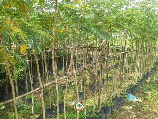 Công ty Cây Xanh Gia Nguyễn, Cây Trồng, Cây Giống Lâm Nghiệp, Kỹ thuật trồng, Giá cây giống