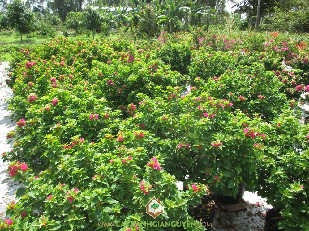 Bông Giấy, Hoa Giấy, Bông Giấy Cẩm Thạch, Giống hoa Giấy, Bông Giấy Vạn Hoa Lầu