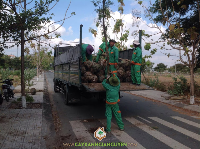 Cây Xanh Gia Nguyễn, Cây Lim Xẹt, Vườn ươm tỉnh Bình Phước, Cây giống, Cây giống Lim Xẹt