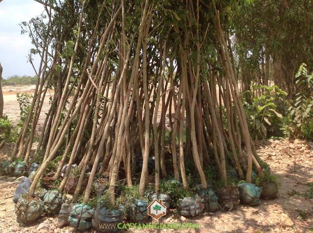 Công ty Cây Xanh Gia Nguyễn, Cây Me Tây, Cây cảnh quan, Trồng cây me tây, Du Lịch Sinh Thái Sơn Tiên