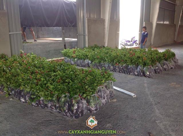 Cây Xanh Gia Nguyễn, Cây Bông Giấy, Vườn ươm tỉnh Bình Phước, Giống cây Bông Giấy, Công ty Cây Xanh Gia Nguyễn