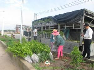 Cây Bông Giấy, Bông Giấy, Cảnh quan thiên nhiên, Chất lượng cây giống, Cây Xanh Gia Nguyễn