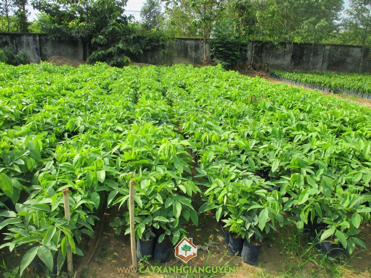 Cây giống osaka vàng, Cây osaka vàng, Mua cây giống osaka vàng, Vườn ươm Gia Nguyễn, Cây xanh công trình
