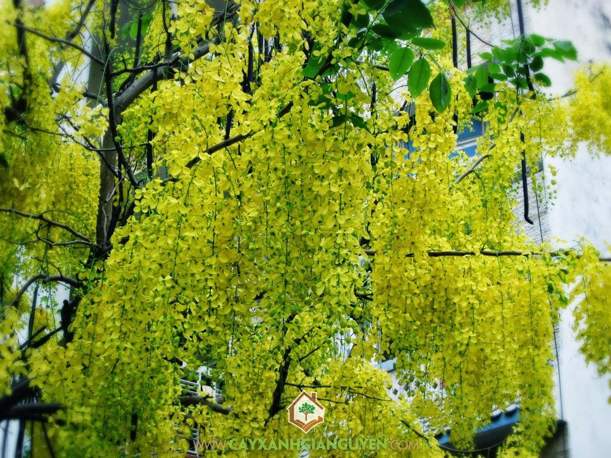 Cây Osaka vàng, Lá Osaka vàng, Hoa muồng hoàng yến, Muồng Hoàng Yến, Osaka vàng