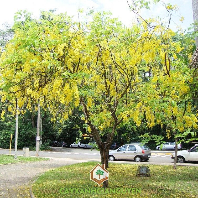 Cây Muồng Hoàng Yến, Cây Osaka vàng, Cây Osaka, Cây cảnh quan, Cây đô thị