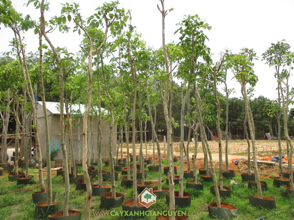 Vườn ươm Cây Xanh Gia Nguyễn, Cây osaka vàng, Cây giống, Mua cây osaka vàng giống, Cây Xanh Gia Nguyễn, Bán cây osaka vàng