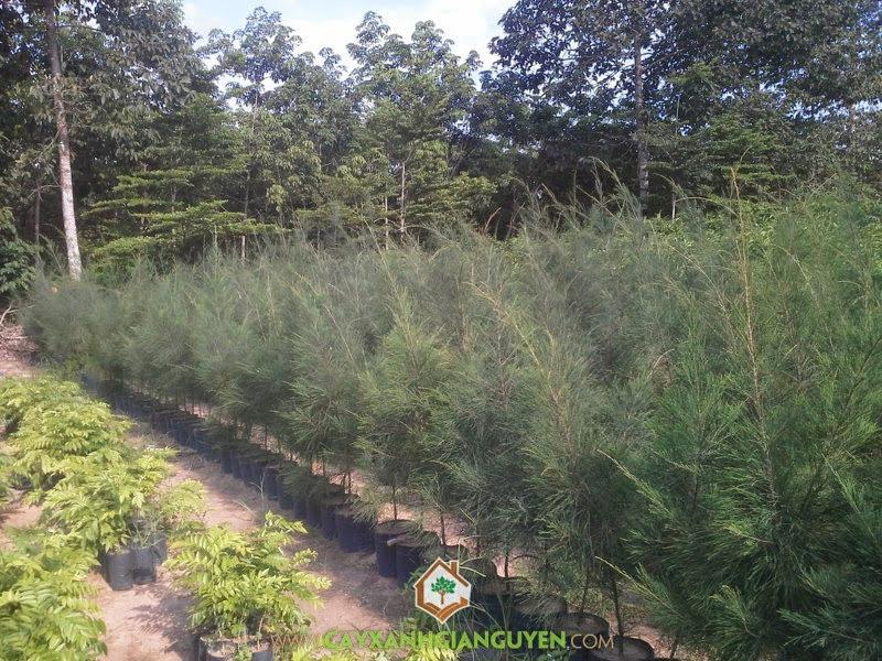 Phi Lao, Cây Phi Lao, Kỹ thuật trồng Cây Phi Lao, Trồng Phi Lao bằng bầu, Nhân giống Cây Phi Lao