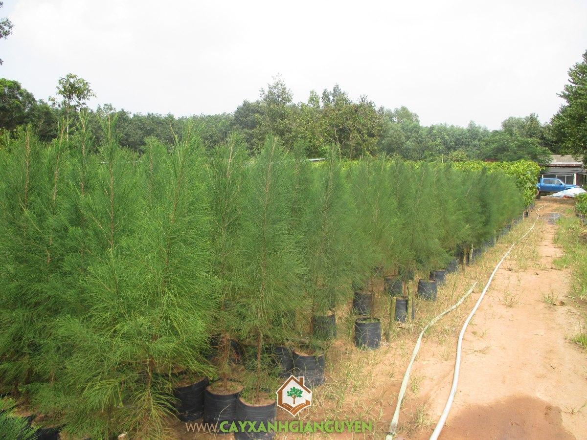 Cây Phi Lao, Vườn ươm Cây Xanh Gia Nguyễn, Trồng cây con, Cành Phi Lao, Phi Lao