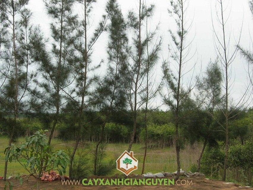Cây Phi Lao, Rừng Phi Lao, Trồng Phi Lao, Vỏ Thân Phi Lao, Lá Phi Lao