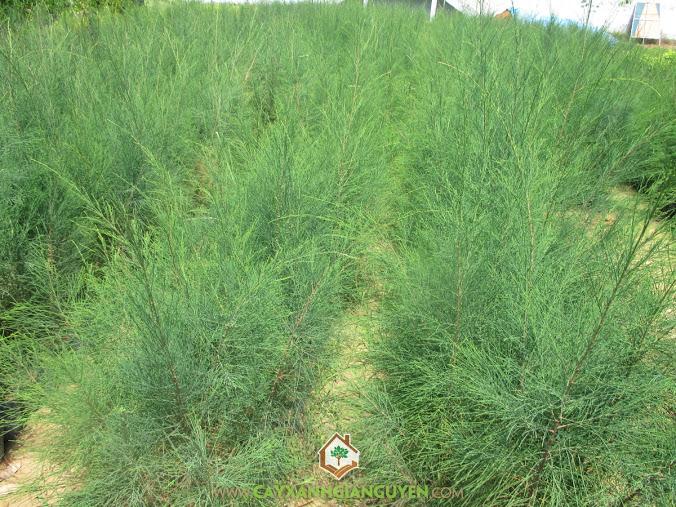 Chăm sóc Cây Phi Lao, Quy trình trồng và chăm sóc Cây Phi Lao, Vườn ươm Cây Xanh Gia Nguyễn, Cây Phi Lao, Cây Giống Phi Lao