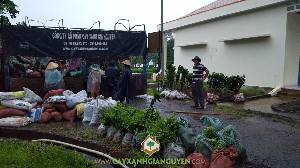 Vườn ươm Cây Xanh Gia Nguyễn, Cây Cau Lùn, Cây Tha La, Cây Hắc Ó, Cây Chè Xanh