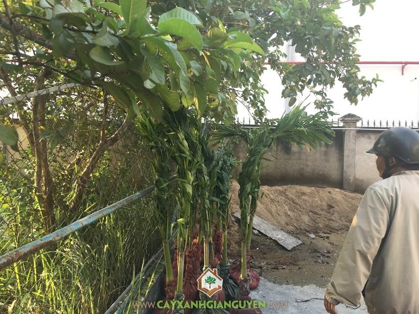 Vườn ươm Gia Nguyễn, Cây Cau Trắng, Cây Cảnh, Cây Cau Trắng Giống, Kỹ thuật trồng Cau Trắng