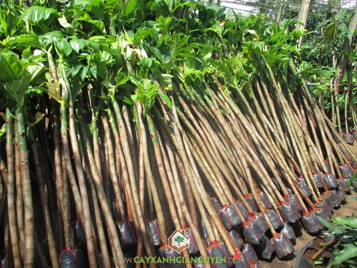 Vườn ươm Cây Xanh Gia Nguyễn, Cây Sa Kê, Bán Cây Sa Kê Giống, Mua Cây Sa Kê Giống, Cây Sa Kê Giống