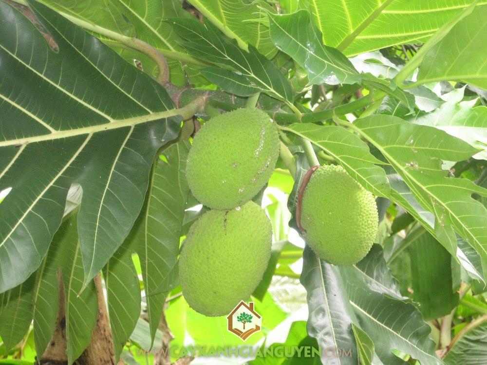 Cây Sa Kê có trồng được ở Miền Bắc không, Cây Sa Kê, Giá Sa Kê, Trồng Sa Kê, Quả Sa Kê