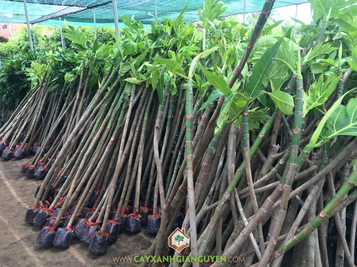 Kỹ thuật trồng Cây Sa Kê, Trồng Cây Sa Kê, Sa Kê, Cây Sa Kê, Cách chăm sóc Cây Sa Kê