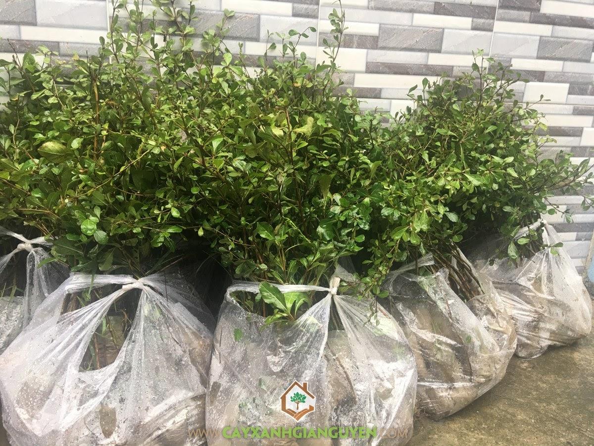 Bàng Đài Loan, Vườn ươm Cây Xanh Gia Nguyễn, Giống Bàng, Bàng Lá Nhỏ, Giống Cây Công Trình