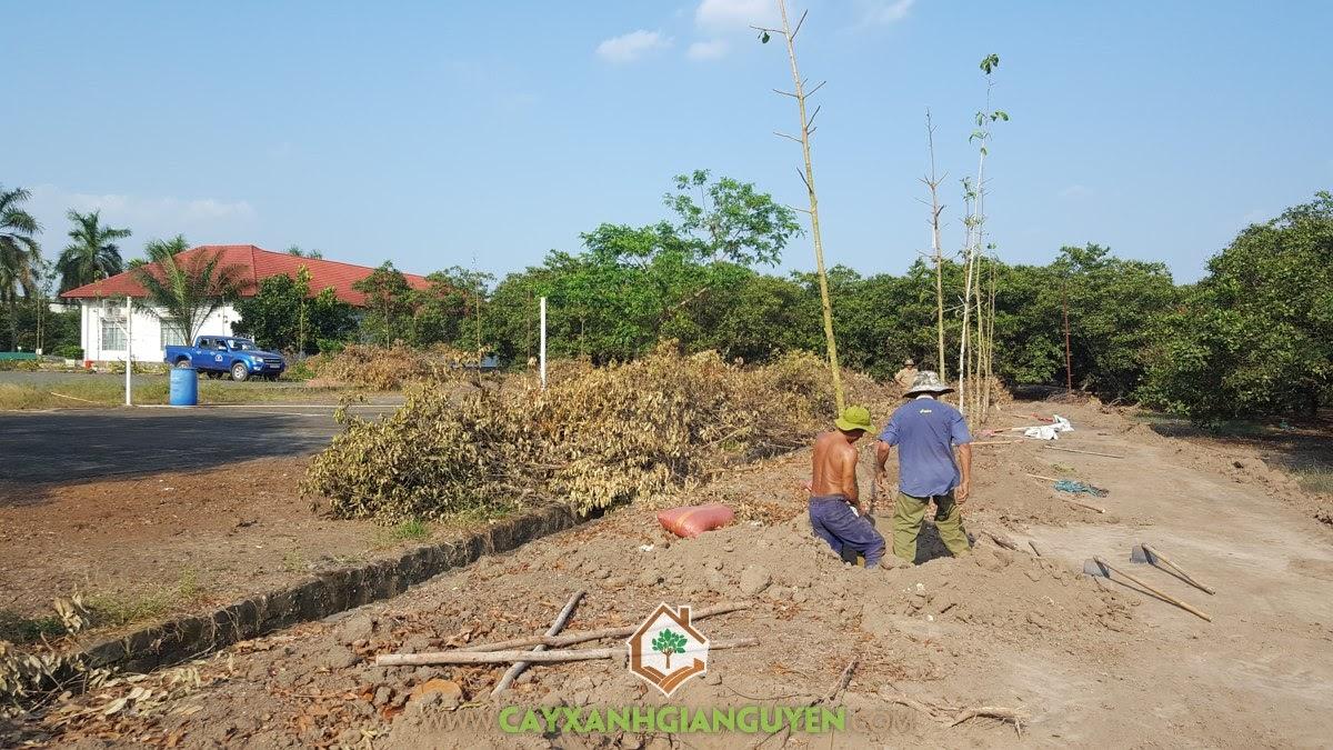 Vườn Ươm Cây Xanh Gia Nguyễn, Cây Dầu Rái, Cây Sao Đen, Cây Giống, Trồng Cây Dầu Rái